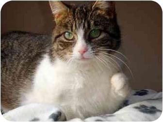 Domestic Shorthair Kitten for adoption in Hamilton, Ontario - Abbie