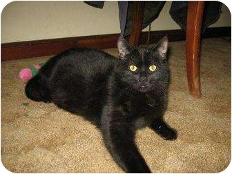 Domestic Shorthair Cat for adoption in Roseville, Minnesota - Joseph