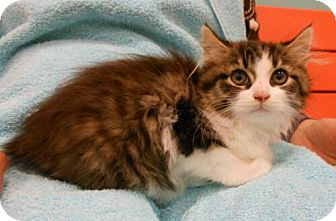 Domestic Mediumhair Kitten for adoption in Reston, Virginia - Alec