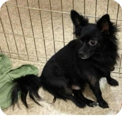 Chihuahua/Schipperke Mix Dog for adoption in Mesa, Arizona - Murphy