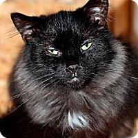 Domestic Mediumhair Cat for adoption in Halifax, Nova Scotia - Sponsor Adorable Wilbur