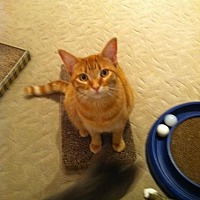 Domestic Shorthair Cat for adoption in Atco, New Jersey - Josaphine