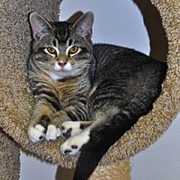 Domestic Shorthair Kitten for adoption in Colorado Springs, Colorado - Peter Pan
