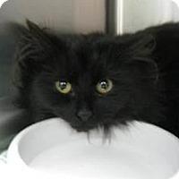 Adopt A Pet :: Mystique - Belleville, MI