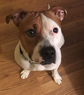 Pit Bull Terrier Mix Dog for adoption in Schaumburg, Illinois - Zoe