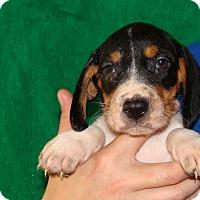 Adopt A Pet :: Dazzler - Oviedo, FL