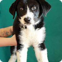 Adopt A Pet :: Chance-Adoption pending - Waldorf, MD