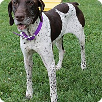 German Shorthaired Pointer Dog for adoption in Alma, Wisconsin - Mel