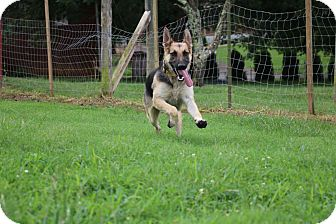 German Shepherd Dog Mix Dog for adoption in Nashua, New Hampshire - Pat (bonded to Vanna)