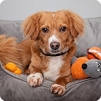 Nova Scotia Duck-Tolling Retriever Mix Dog for adoption in Mission Hills, California - Nelson