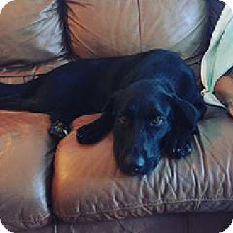 Labrador Retriever Mix Dog for adoption in Summerville, South Carolina - Norah