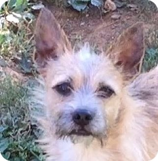 Border Terrier Mix Dog for adoption in Providence, Rhode Island - Willis