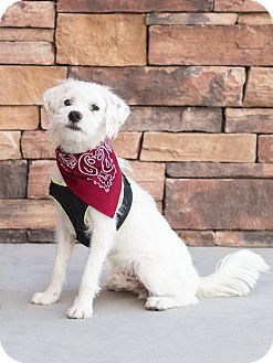 Poodle (Miniature)/Terrier (Unknown Type, Medium) Mix Dog for adoption in Chandler, Arizona - August
