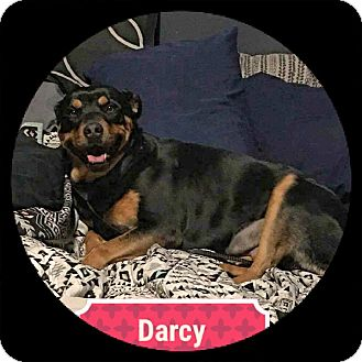 Rottweiler/German Shepherd Dog Mix Dog for adoption in Victorville, California - Darcy