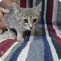 Domestic Shorthair Kitten for adoption in Montello, Wisconsin - Alfie