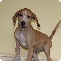Adopt A Pet :: Baron - Waldorf, MD