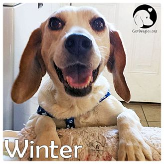 Beagle Dog for adoption in Pittsburgh, Pennsylvania - Winter