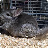 Adopt A Pet :: 7 yr beige female chinchilla - Hammond, IN