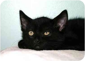 Domestic Shorthair Cat for adoption in Montgomery, Illinois - Chip