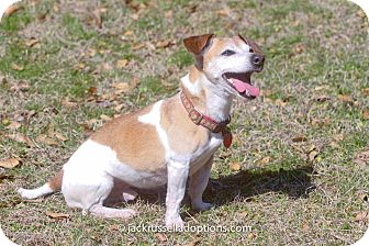 Jack Russell Terrier Mix Dog for adoption in Conyers, Georgia - Brewster