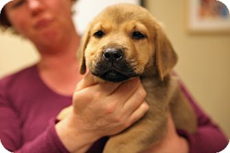 Labrador Retriever Mix Puppy for adoption in Richmond, Virginia - Possum