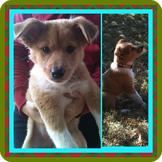 Collie/Sheltie, Shetland Sheepdog Mix Puppy for adoption in MINNETONKA, Minnesota - LIZZY