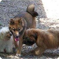Adopt A Pet :: Hoshi - Antioch, IL