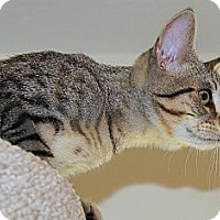 Adopt A Pet :: Spinner - Victor, NY