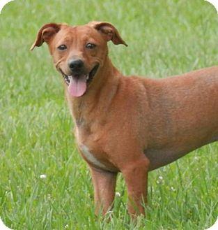 Dachshund/Chihuahua Mix Dog for adoption in Lake Charles, Louisiana - Mitt