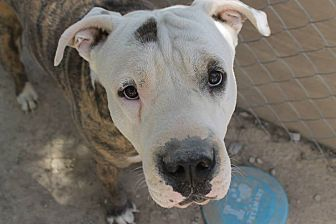 American Bulldog/Mastiff Mix Dog for adoption in Las Vegas, Nevada - Mac Daddy Louie