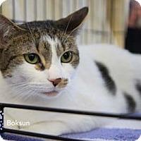 Adopt A Pet :: Boksoon - Merrifield, VA