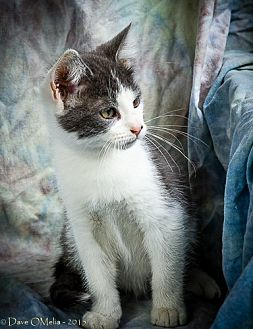 Domestic Shorthair Kitten for adoption in Anna, Illinois - MICAH