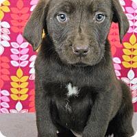 Adopt A Pet :: Chai - Starkville, MS