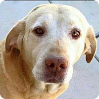 Labrador Retriever Mix Dog for adoption in Dana Point, California - JAKE