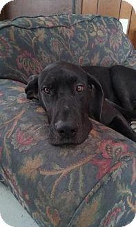 Great Dane Dog for adoption in Minneapolis, Minnesota - Rocket