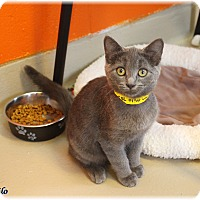 Domestic Shorthair Cat for adoption in Welland, Ontario - Milo