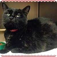 Domestic Shorthair Cat for adoption in Marietta, Georgia - BOOBOO KITTY