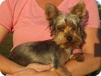 Yorkie, Yorkshire Terrier Puppy for adoption in Greenville, Rhode Island - Ernest