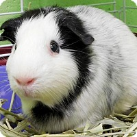 Guinea Pig for adoption in Jefferson, Wisconsin - Possum
