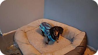 Dachshund Dog for adoption in Aurora, Colorado - Maxine
