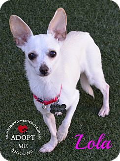 Chihuahua Mix Dog for adoption in Youngwood, Pennsylvania - Lola