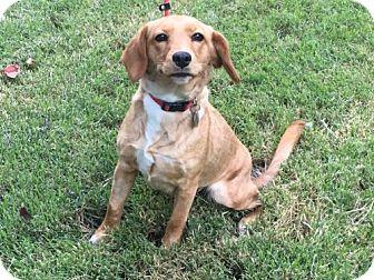 Labrador Retriever/Beagle Mix Dog for adoption in Houston, Texas - Blair