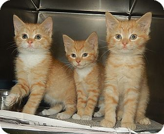 Domestic Shorthair Kitten for adoption in Newport, North Carolina - Jean, Jamie, and Jasper