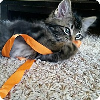 Adopt A Pet :: Tabby - Loveland, CO