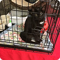Domestic Shorthair Kitten for adoption in Clay, New York - Young kittys