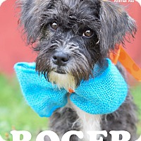 Adopt A Pet :: Roger - Denver, CO