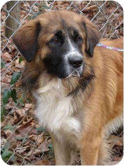 Fenway | Adopted Dog | Sherman, CT | Bernese Mountain Dog ... Bernese Mountain Dog Saint Bernard Mix Puppies