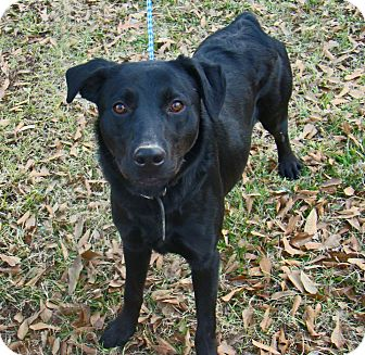 Labrador Retriever Mix Puppy for adoption in Charlemont, Massachusetts - Scout