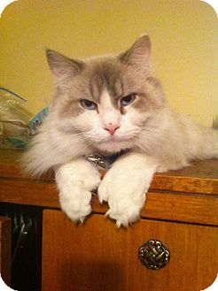 Himalayan Cat for adoption in Pittstown, New Jersey - Prince