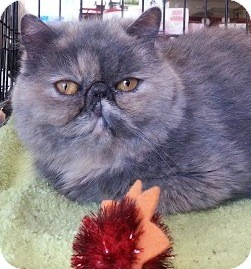 Exotic Cat for adoption in Beverly Hills, California - Clara
